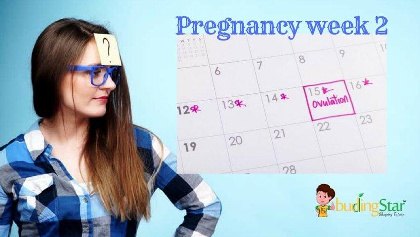 pregnancy-week-2-budding-star